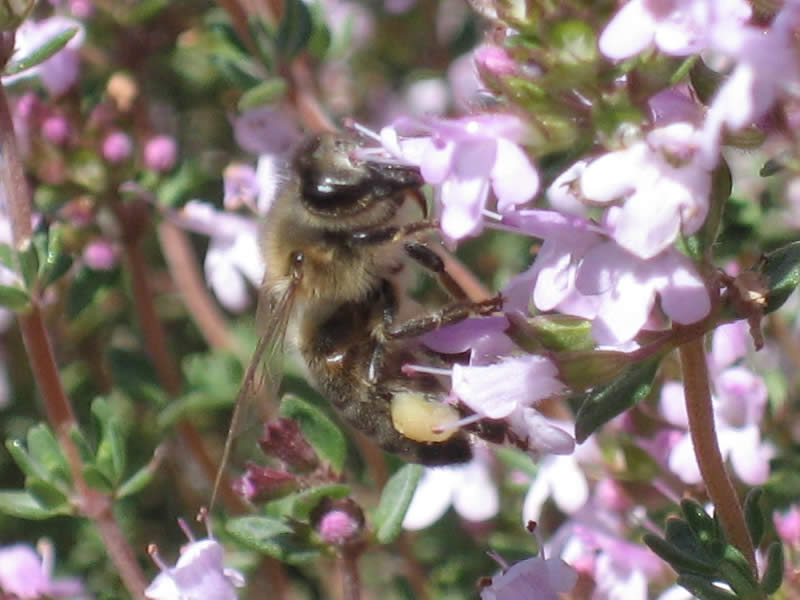 abeille butinant du thym