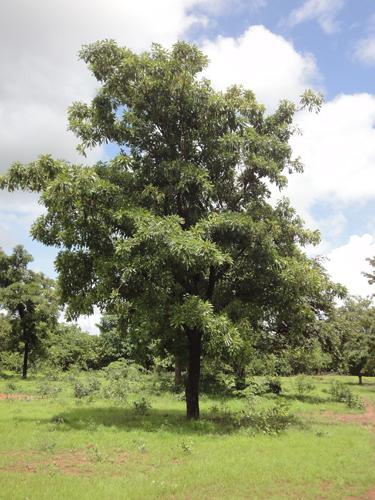 arbre karité