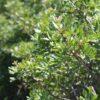 pistachier lentisque