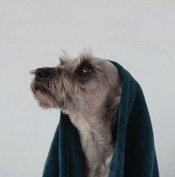 chien après shampoing